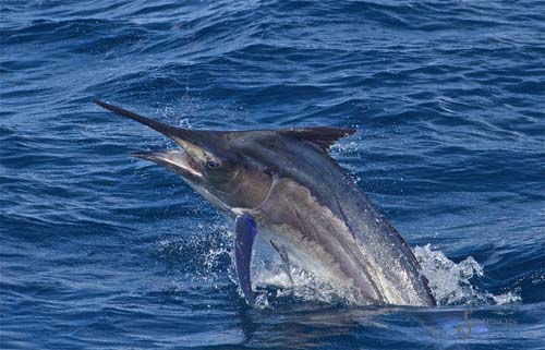 Black Marlin - Australia